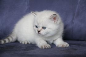 Britische Kätzchen in Point