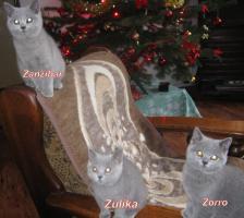Britische Kätzchen mit Stammbaum