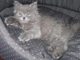 Foto 2 Britische Kätzchen mit Stammbaum