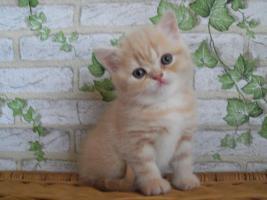 Britische Katzenbabys mit Papiere