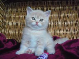 Foto 2 Britische Katzenbabys mit Papiere