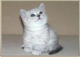 Britische Kurzhaar Kitten mit Stammbaum