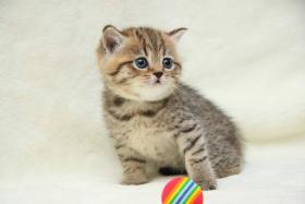 Foto 2 Britische Kurzhaar Kitten mit Stammbaum