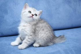Foto 3 Britische Kurzhaar Kitten mit Stammbaum