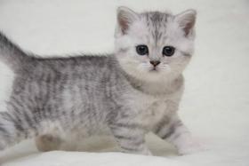 Foto 4 Britische Kurzhaar Kitten mit Stammbaum
