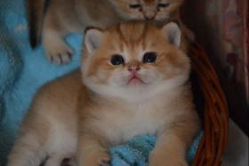 Foto 2 Britische katzchen golden shadet ny11