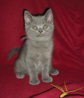 Britische-kurzhaar  Kätzchen mit Stammbaum