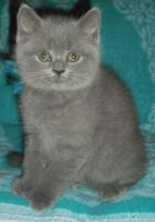 Foto 2 Britische-kurzhaar  Kätzchen mit Stammbaum