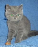 Foto 3 Britische-kurzhaar  Kätzchen mit Stammbaum