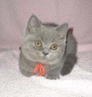 Foto 4 Britische-kurzhaar  Kätzchen mit Stammbaum