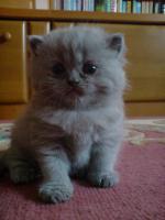 Foto 5 Britischekurzhaar Kitten >Reutlingen