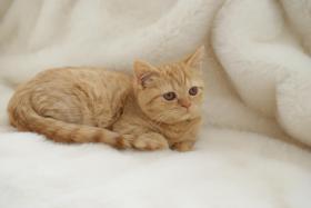 Foto 3 British Kurzhaar Katzenkinder