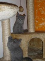 British Shorthair Kitten, Blue