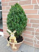 Foto 2 Buchsbaum im Terratopf mit Hase ;-)