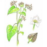 Buchweizen 1 kilo Fagopyrum esculentum.