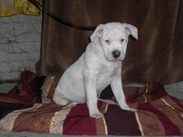 Bulldog Welpen