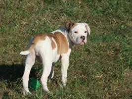 Foto 4 Bulldog Welpen