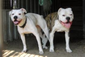 Foto 6 Bulldog Welpen