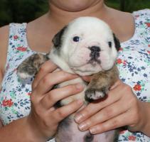 Foto 3 Bulldogge -Welpen