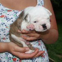Foto 4 Bulldogge -Welpen