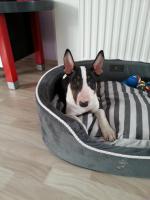 Bullterrier Welpe ''Xena''