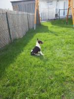 Foto 4 Bullterrier Welpe ''Xena''