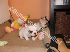 Foto 2 Bullywelpen, mit Papiere, Französische Bulldogge