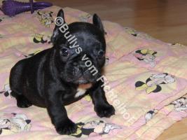 Foto 3 Bullywelpen, mit Papiere, Französische Bulldogge
