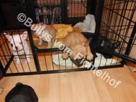 Foto 4 Bullywelpen, mit Papiere, Französische Bulldogge