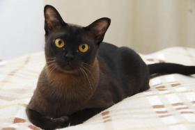 Foto 3 Burma Katze