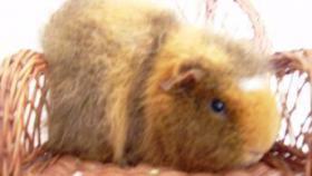 Foto 4 CH-Teddymeerschweinchen abzugeben
