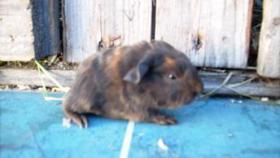 Foto 5 CH-Teddymeerschweinchen abzugeben