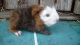 Foto 6 CH-Teddymeerschweinchen abzugeben