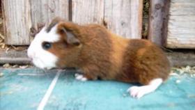 Foto 8 CH-Teddymeerschweinchen abzugeben