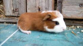 Foto 9 CH-Teddymeerschweinchen abzugeben
