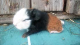 Foto 10 CH-Teddymeerschweinchen abzugeben