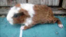 Foto 12 CH-Teddymeerschweinchen abzugeben