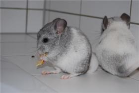 CHINCHILLABABIES