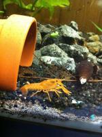 Foto 2 CPO Cambarellus Patzcuarenses sp. Orange Jungtiere