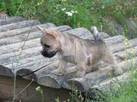 Foto 3 Cairn Terrier Hündin mit Stammbaum