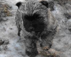 Cairn-Terrier Welpen