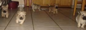 Foto 3 Cairn Terrier Welpen