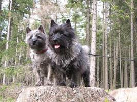 Cairn-Terrier Welpen von der Iburg...einfach super!