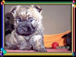 Foto 2 Cairn-Terrier Welpen von der Iburg...einfach super!