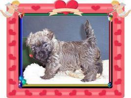 Foto 3 Cairn-Terrier Welpen von der Iburg...einfach super!