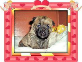 Foto 4 Cairn-Terrier Welpen von der Iburg...einfach super!