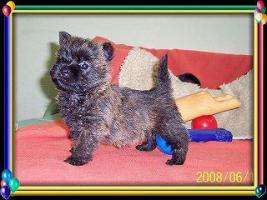Foto 5 Cairn-Terrier Welpen von der Iburg...einfach super!