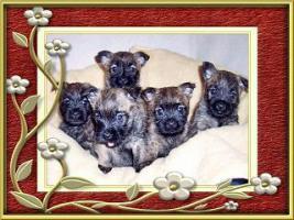 Foto 6 Cairn-Terrier Welpen von der Iburg...einfach super!