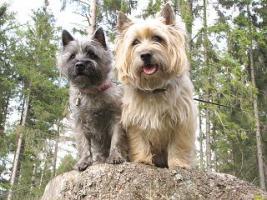 Foto 7 Cairn-Terrier Welpen von der Iburg...einfach super!
