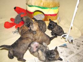 Foto 9 Cairn-Terrier Welpen von der Iburg...einfach super!